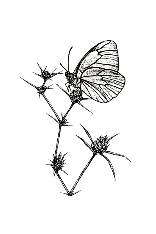 Butterfly perched.Black and white. 6 x 4 inches. Indian ink pen on watercolour paper.