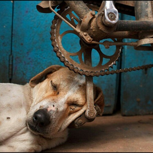 #dog #pet #animals #instadog #sleep #bicycle #photography #fun