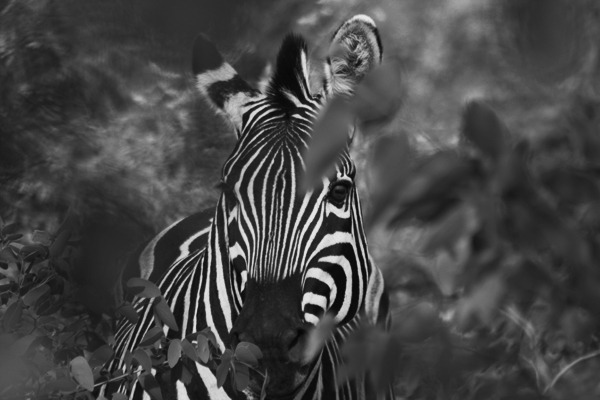 Black and White. Botswana