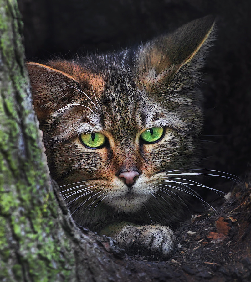 llbwwb:  European Wildcat by Klaus Wiese.  What u lookin at