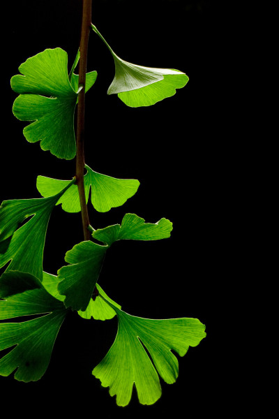 "sciencesoup:  Ginkgo Trees Stand Test of Time ""Living fossil"" is an informal term used by biologists to describe species that lack living relatives.  While you might not personally think being called a fossil is a compliment, these organisms are actually quite impressive survivors.  The Ginkgo biloba tree, for example, is strange and unique amongst contemporary plants but incredibly similar to fossils dating back to the Permian, almost 270 million years! This means that even though every single other lineage of the Ginkgo's relatives changed and adapted beyond recognition or died out, there are still Ginkgo trees growing today that would be indistinguishable from trees from hundreds of millions of years ago. If that fails to impress you, consider this: in Hiroshima, Japan there are still a handful of Ginkgo trees that survived the dropping of the atom bomb in 1945 living to the present day! If these hardy trees can withstand a disturbance of an A-bomb's magnitude, it is no wonder they have managed to remain viable when so many other ancient plants could not. Guest post written by Reggie Henke"