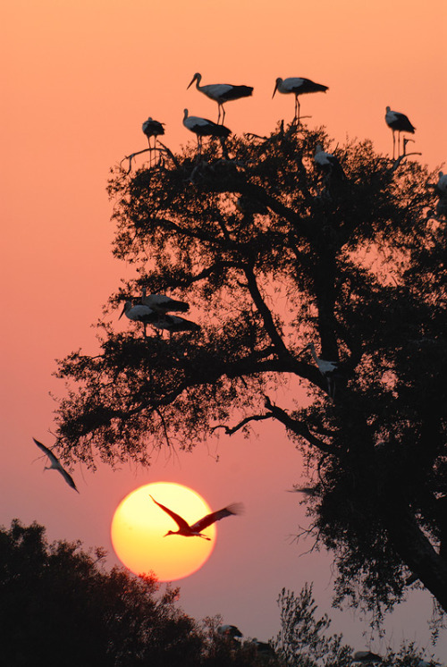 "vurtual:  White storks at evening (by Daniel Montero) ""When migrating from north Euorpe to Africa, white storks usually stop in the south of Spain mainlad. At evening, they take the trees by hundreds."""
