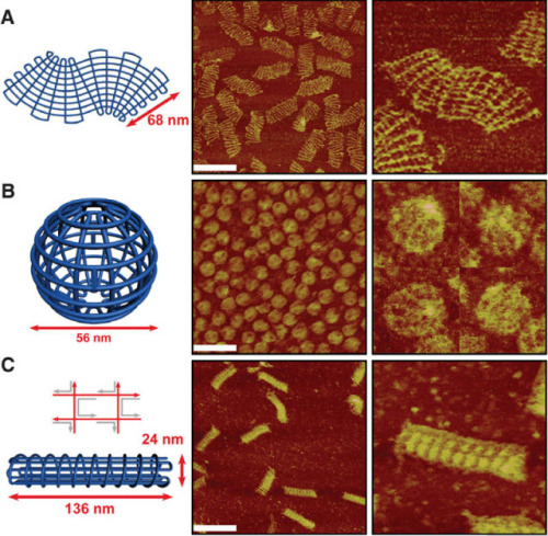 "Researchers Build Complex 3D Nano Structures Out of DNA By Manipulating How Strands Join  ""We were amazed that it worked!"" said Yan. ""Once we saw that it actually worked, it was relatively easy to implement new designs. Now it seems easy in hindsight. If your mindset is limited by the conventional rules, it's really hard to take the next step. Once you take that step, it becomes so obvious."" The DNA Gridiron designs are programmed into a viral DNA, where a spaghetti-shaped single strand of DNA is spit out and folded together with the help of small 'staple' strands of DNA that help mold the final DNA structure. In a test tube, the mixture is heated, then rapidly cooled, and everything self-assembles and molds into the final shape once cooled. Next, using sophisticated AFM and TEM imaging technology, they are able to examine the shapes and sizes of the final products and determine that they had formed correctly. This approach has allowed them to build multilayered, 3-D structures and curved objects for new applications. ""Most of our research team is now devoted toward finding new applications for this basic toolkit we are making,"" said Yan. ""There is still a long way to go and a lot of new ideas to explore. We just need to keep talking to biologists, physicists and engineers to understand and meet their needs.""  (via DNA made into Complex 2D and 3D DNA nanostructures made from DNA wireframe meshes using new adaptable junctions)"
