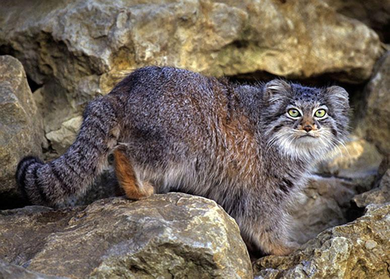 llbwwb:   Pallas Cat, Central Asia Mountains, photo by Terry Whittaker.