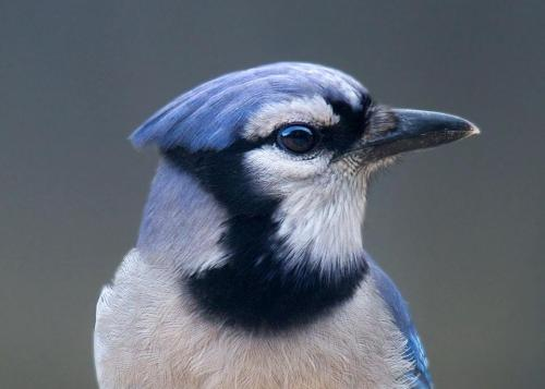 nemophilaindc:  The Great Backyard Bird Count starts TODAY! For the first time ever, you can participate from anywhere in the world. Where will you be counting?  Go to www.ebird.org to watch real-time submission maps and to upload your own checklists. Submit your photos for a chance to win cool prizes!  Photo by 2012 GBBC participant Jane Alexander  Check it out! :)