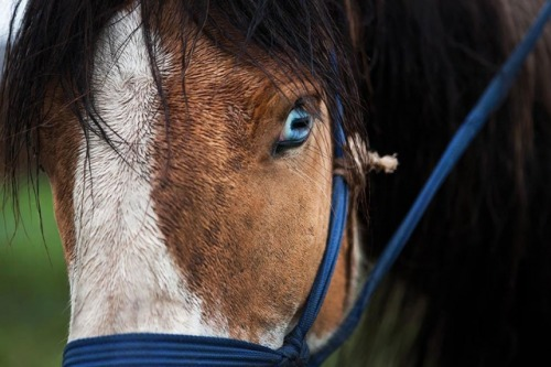 A blue-eyed Mongolian horse. I had no idea horses even could have blue eyes. Photo by Taylor Weidman.