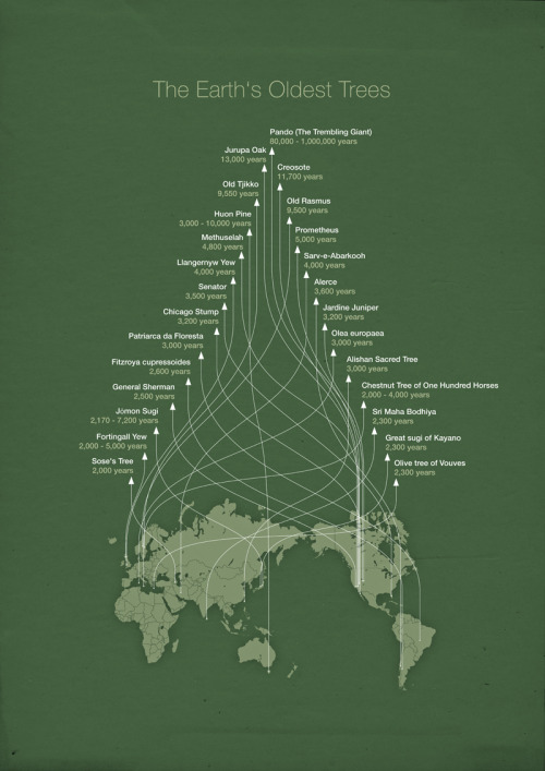 earthfix:  Lovely infographic mapping the world's oldest trees. wnycradiolab:  good:  Infographic: The World's Oldest Trees- Adele Peters posted in Environment, Sustainability and Design A recent study in Science reported that some of the world's oldest trees—most between 100 to 300 years old—are dying rapidly, in part because of climate change. This infographic (from 2010, but still relevant) shows the location of trees that are even older, and now at risk.  Want to hear more about really really old trees?  We've got a story for you.