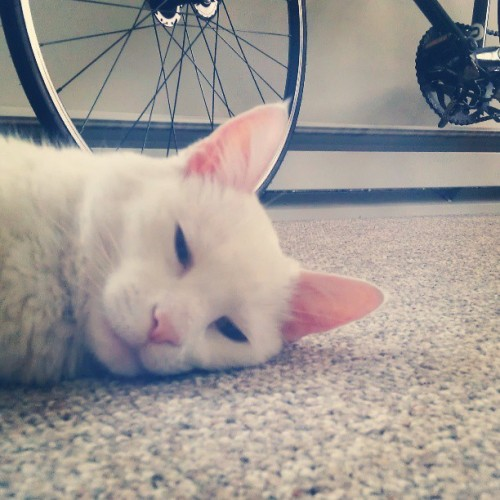 The good life #cats & #fixedgear #bikes