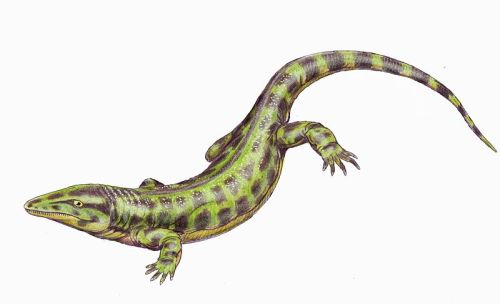 "Solenodonsaurus … is an extinct genus of Reptiliomorpha (reptile like amphibians), which lived about 320-305 million years ago. Classification is uncertain, but it was possibly an early reptile or an amphibian close to the diadectomorphs. Its remains were found in the Czech Republic. Its name means ""single-tooth lizard"". Solenondosaurus measured about 45 cm. The Solenodonsaurus show a curious mix of characters making it difficult to place phyllogentically. The teeth lack labyrinthodont folding of the enamel, and it skull is without the otic notch seen in other reptiliomorph amphibians… (read more: Wikipedia)            (illustration by Dmitry Bogdanov)"