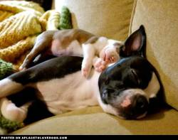 Sleepy little baby Boston Terrier pup sound asleep on his mommy For more cute dogs and puppies