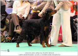 this is a proper gordon setter and show dog - storm, best puppy in breed at crufts 2013 x