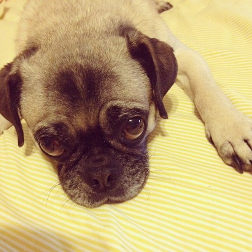Guilty face #pug #pugs