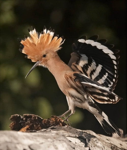 fat-birds:  Hoopoes are truly terrific birds. I love their goofy shape! (x)