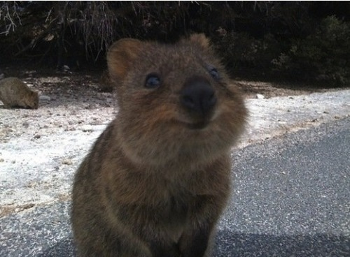 Move over internet cats! Your replacement has arrived! Meet the Quokka. Basically the cutest and happiest Australian marsupial ever! Click the pic for more photos.