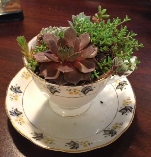 Tea cup succulent garden!  Picked this up at our campus plant sale yesterday :)