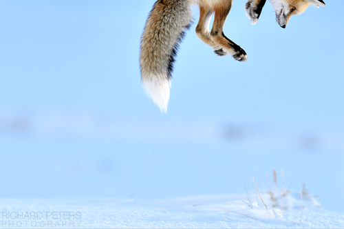 nature-madness:  Snow Pounce by Richard Peters