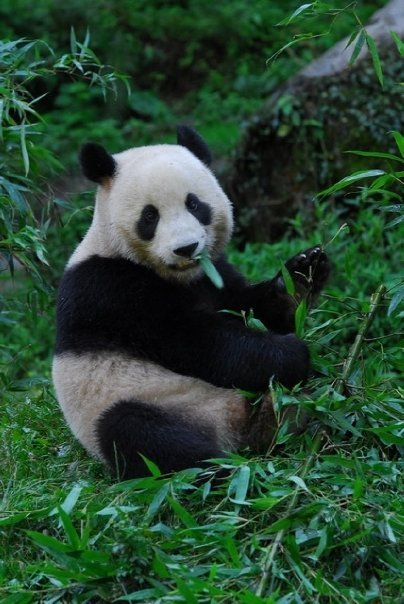explorebears:  The Giant Panda was once widespread in southern and eastern China, Vietnam and Myanmar (Burma). Today the Giant Panda is limited to the mountains in a few Chinese provinces in southwestern China. Most of the Giant Pandas are in China's Sichuan Province, but they are also found in Shaanxi and Gansu provinces. Their range is along the eastern rim of the Tibetan Plateau.