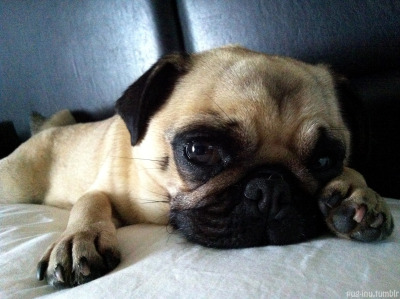 "boodapug:  pug-inu:  Pillow talk from Inu, ""Do you love me?  Am I the best pug ever?""  <3"