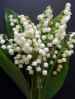 szelence:  Lily of the valley/Convallaria majalis by malinybi on Flickr.  seeing this outside the front of my house make me so happy !