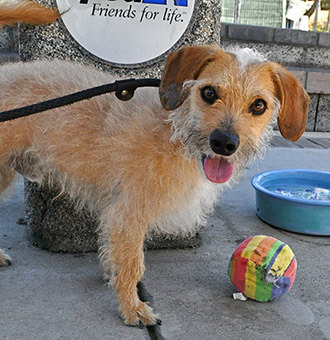 Gonzo SS#13-01041 2 Years Old Male Terrier Mix  Hi, I am Gonzo and I am a terrific terrier waiting for my forever home. I love my toys and I take them everywhere I go, it is so cute! I am a loving guy looking for my best friend, and it might be you!  Available at the P.D. Pitchford Companion Animal Village & Education Center