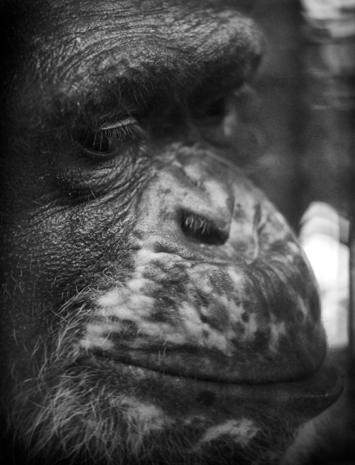 This is one of the last photos I took of Yoko before he passed away on January 30. What a brave soul. He was an amazing chimpanzee who should never have had to suffer the atrocities of medical research. You are missed Little Man. Thank you for allowing me to spend time with you. To learn more about Yoko and the 12 other amazing chimpanzees at Fauna, check out their brand new website. http://www.faunafoundation.org