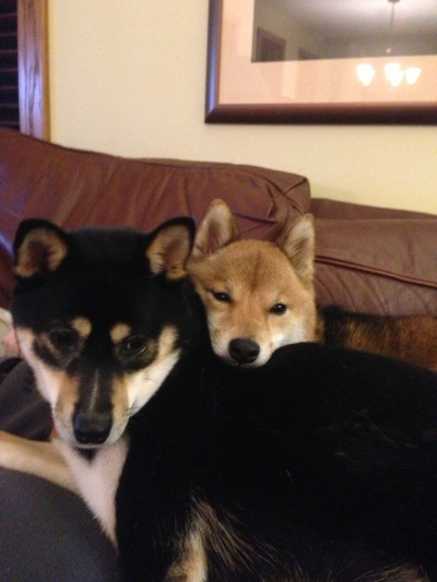 fyeahshibainu:  Zoe and Bella twoshibaswalkedintoabar submitted