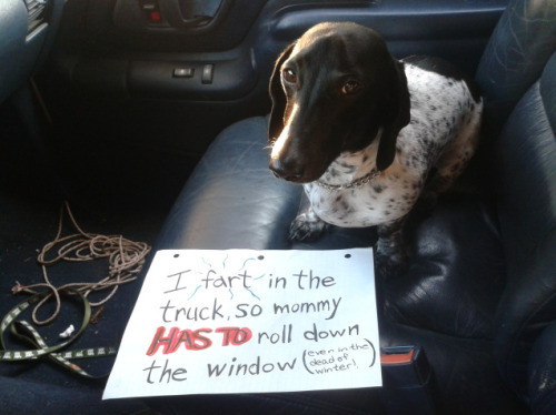 dogshaming:  Stinky Doxie  This is Baloo, my Black and Tan Piebald Dachshund. He will fart in the vehicle EVERY TIME to get…  View Post