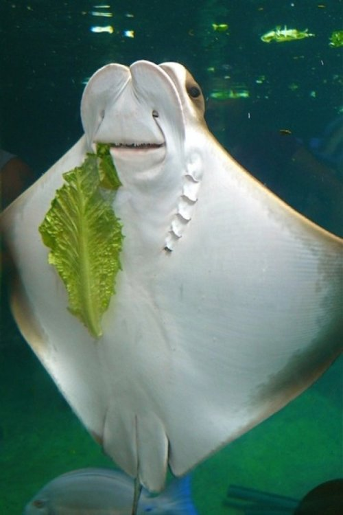Goofy Sting Ray Just Munchin' on Some Lettuce Please tell me you DIDN'T finish the ranch dressing!