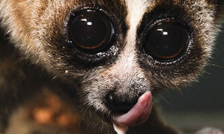 "A new species of primate, a ""big-eyed"" and venomous slow loris, has been identified in Borneo by researchers. But the new loris is already under threat from the Asian pet trade in part because its ""teddy-bear face"" make it attractive for illegal poaching, the team of UK and US scientists said. Photograph: Duke Lemur Center / David Haring / Ch'ien C Lee"
