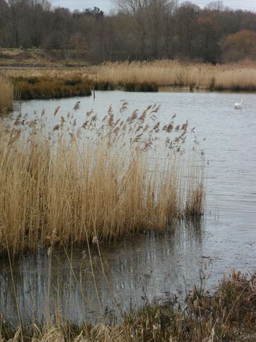 Reed beds at Sandwell Valley Park bird sanctuary, Sandwell, West Bromwich, England All Original Photography by http://vwcampervan-aldridge.tumblr.com