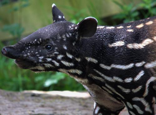 """tapirlove: """" Malayan baby tapir by dfg photography """""""