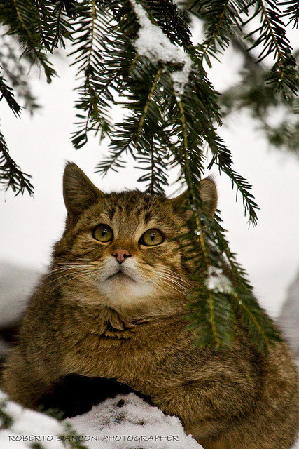 Gatto selvatico (Felis silvestris silvestris) by RobertoBianconi on Flickr.