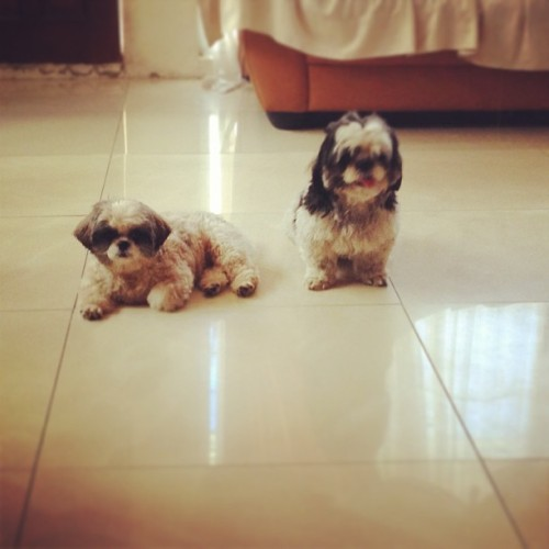 Good afternoon my little puppies…! 🐶 #instadog #instashihtzu #shihtzu #pup #puppy #cute #cutie #cutestagram #dog #doglover #pet #petlover #pets #igers #igerscebu #igersdaily #igersphilippines