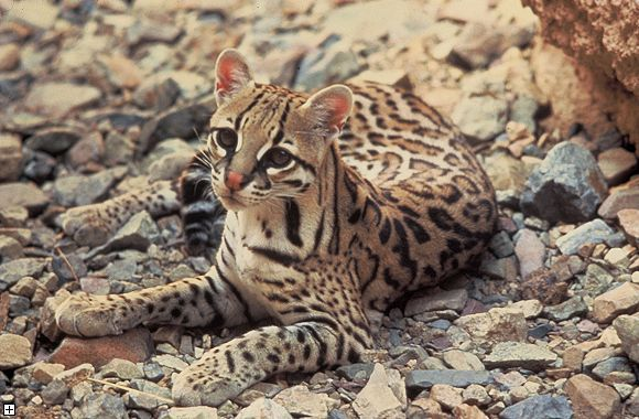 A young, beautiful ocelot.
