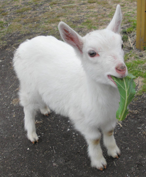 this is the kind of goat i want as a pet