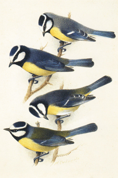 heaveninawildflower:  Blue tits  (Cyanistes caeruleus) from the Canary islands (circa 1920). Scanned from Amazing Rare Things: The Art of Natural History in the Age of Discovery Henrik Grönvold (1858–1940) Wikimedia