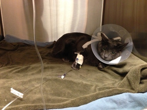 getoutoftherecat:  NO KITTY BELONGS IN THE HOSPITAL!  Hi tumblr folk-  My girlfriend and I received some bad news about our beloved kitty Oliver this morning. He ingested some ribbon that is trapped in his intestines could be potentially fatal if we don't get him a very expensive surgery ASAP. I know how tight finances can be at this age, but if you can't afford to donate just reblogging this picture and helping us to get the word out would be so amazing. Thank you so much,  -KatrinaHttp://www.giveforward.com/kittyneedssurgery  if anyone can help!