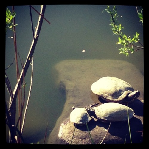 A family of turtles at the Brooklyn Botanic Gardens
