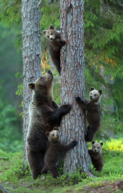 Four bear cubs climb up a tree for safety as an alpha male approaches them. Fearing for her cub's lives the mother bear urged them to scramble up the nearest tree trunk while she kept watch on the ground. The scene was captured by photographer Lauri Tammik in woods in north Finland.  Picture: Lauri Tammik/Rex Features