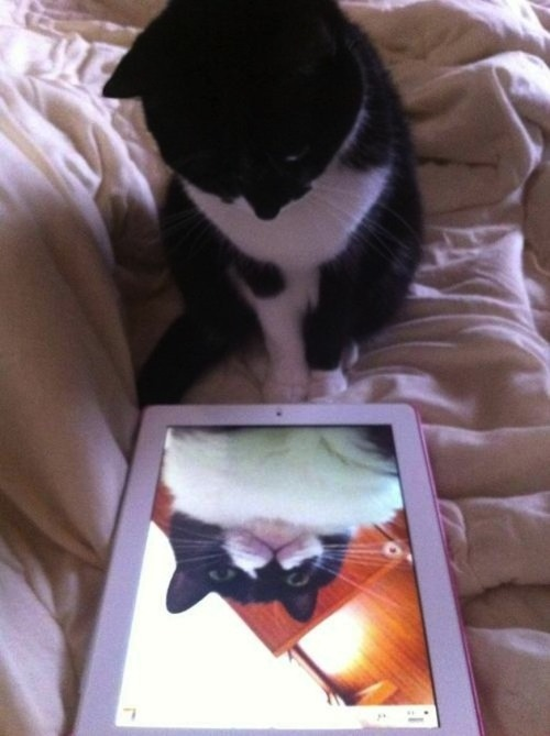 tastefullyoffensive:  9 Cats Taking Selfies