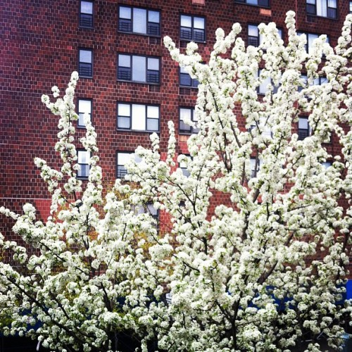 Trees in Bloom #brooklyn #ftgreene #nyc #tree #spring
