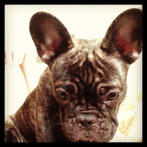 Darya the French Bulldog