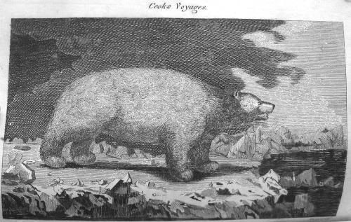 """White Bear,"" drawn by an artist attending Captain James Cook's voyages around the world. The engraver didn't even have a specific name for this creature yet, in the mid-eighteenth century. For more on travel and literature with foreign settings, see the following Eighteenth-Century Fiction articles:  Crossing Borders with Mademoiselle de Richelieu: Fiction, Gender, and the Problem of AuthenticityAuthor: Carolyn Woodward   The Wandering Minstrel: An Eighteenth-Century Fiction?Author: Patricia Howard   ""No place where women are of such importance"": Female Friendship, Empire, and Utopia in The History of Emily MontagueAuthor: Jodi L. Wyett  The Oriental Captivity Narrative and Early English FictionAuthor: Joe Snader Violence and Awe: The Foundations of Government in Aphra Behn's New World SettingsAuthor: Richard Frohock Reading by the Gold and Black Clock; Or, the Recasting of Bernardin de Saint-Pierre's Paul et VirginieAuthor: Catherine Labio Righteous Letters: Vindications of Two Refugees in Lettres d'une Péruvienne and Its Unauthorized Sequel, Lettres taïtiennesAuthor: Giulia Pacini Divine Enthusiasm and Love Melancholy: Tristram Shandy and Eighteenth-Century Narratives of Saint ErrantryAuthor: Oliver Lovesey"