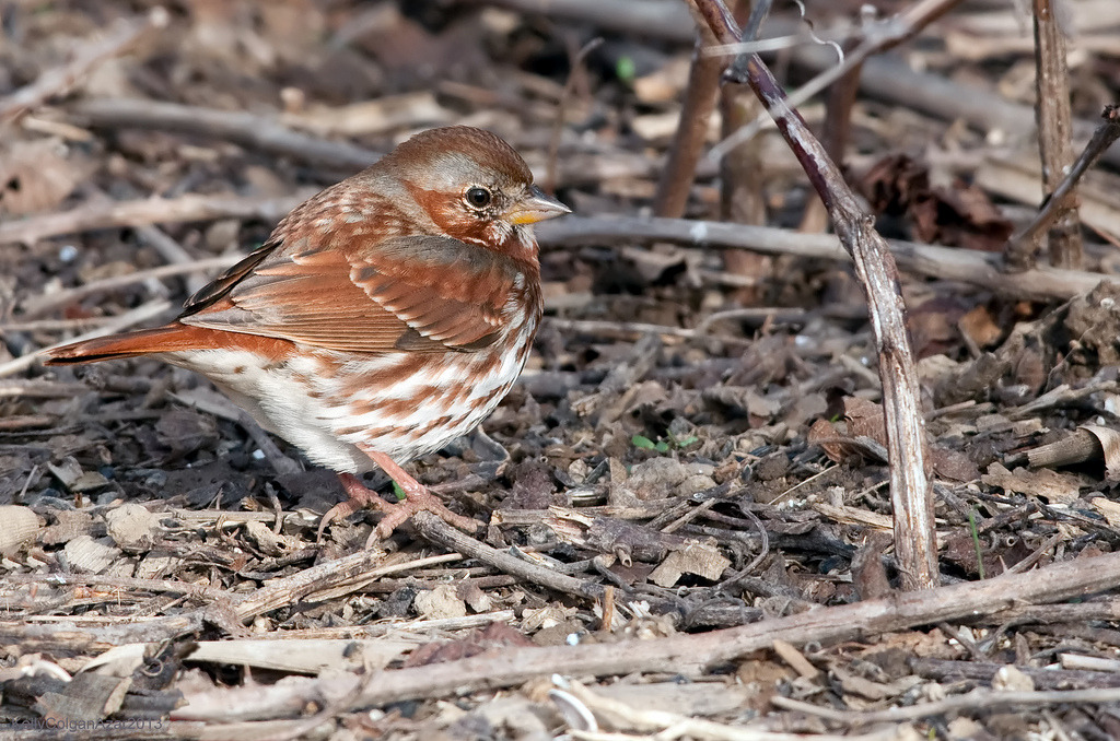 Fox Sparrow / Kelly Colgan Azar