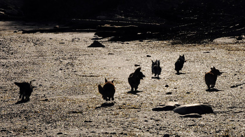 Galloping down the the beach in the morning. It's a guessing game of Corgi bums. ;)