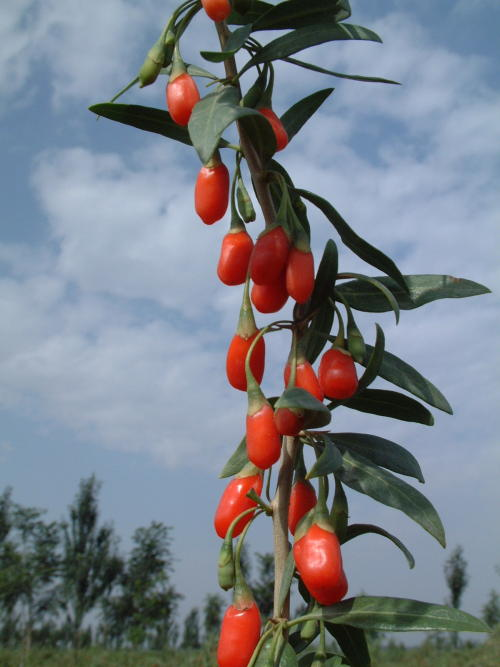 The Edible Garden: Goji Berry (Lycium barbarum)   Have you met the new Super Fruit? It is commonly known as The Wolfberry or Matrimony Vine.  Goji is hardy in zones 5 to 9, and because it is a cousin of the tomato, it also requires full sun. Purple flowers appear in spring, and by summer the sweet berries will start to ripen and be ready to harvest. (A pollinator is not needed.) The berries contain 13 percent protein and are loaded with anti-oxidants. Not only that, the Goji berry contains more iron than spinach and more Vitamin C than an orange. Eat the berries fresh, or dry them like other dried fruits. What else could you ask for from a Super Food?    The shrub is quite vigorous, so make sure it is planted in a suitable location where the vine-like branches have ample room to spread. Try training it as an espalier, where its shape can be easily managed. Choose a main cane which will become the trunk of the plant, and prune accordingly. Planting more than one? Allow 6-8 feet between the plants. The Goji will need annual pruning to keep it in check (thin out previous year's growth), and to encourage new growth which will produce new fruit. Because the berries are edible, be aware that birds, rabbits, squirrels, and deer will eat the leaves and the berries, so be prepared to wrap netting around your plant, if necessary.  Goji 'Sweet Lifeberry' is a Proven Winners Selection for 2013.      Detailed instructions on how to grow the Goji can be found here.