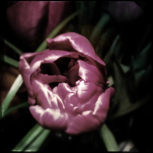 Tulip #tulip #purple #flower #hipstamatic #iphone