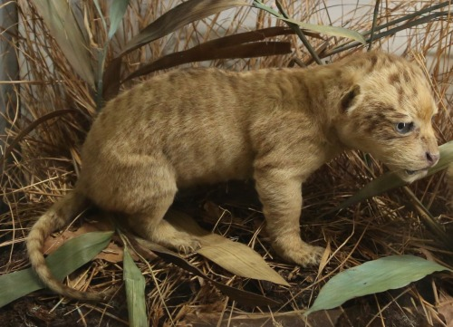 hi-mylifesucks:  The liger cub. Scientists artificially interbred a lion and a tiger resulting in a liger. Amazing.