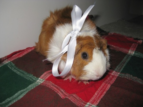 Public service announcement of the wheek: Guinea pigs are wonderful pets, but they are not disposable pets. Please take into consideration before you give a guinea pig as a gift this holiday season. PS- this is our 200th post, woo hoo! Thanks, loyal followers, for all your support!