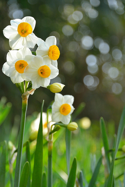 charislogia:  tinywhitedaisies; prettylittleflower:  Narcissus by yamabuki*** on Flickr.